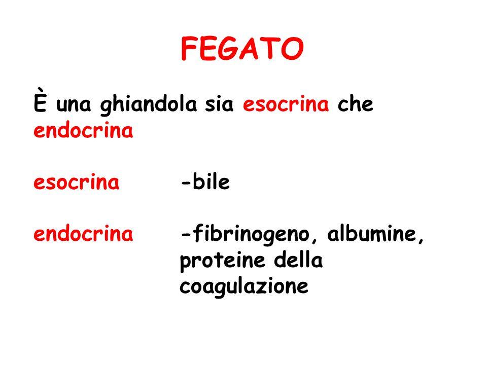 FEGATO È una ghiandola sia esocrina che endocrina esocrina -bile