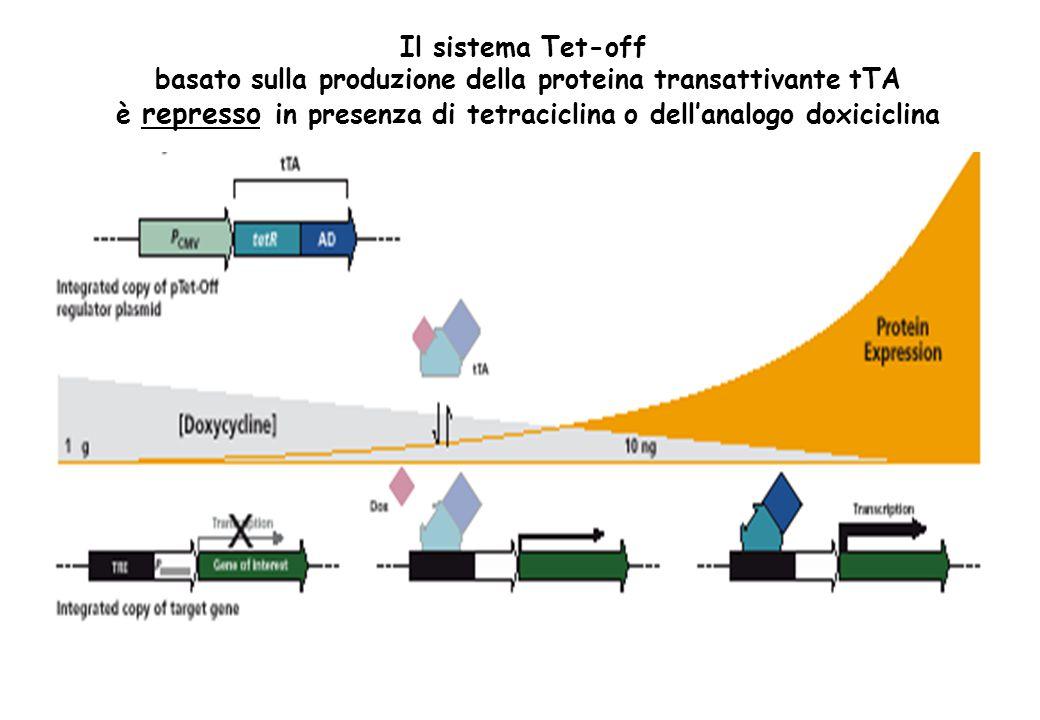 basato sulla produzione della proteina transattivante tTA