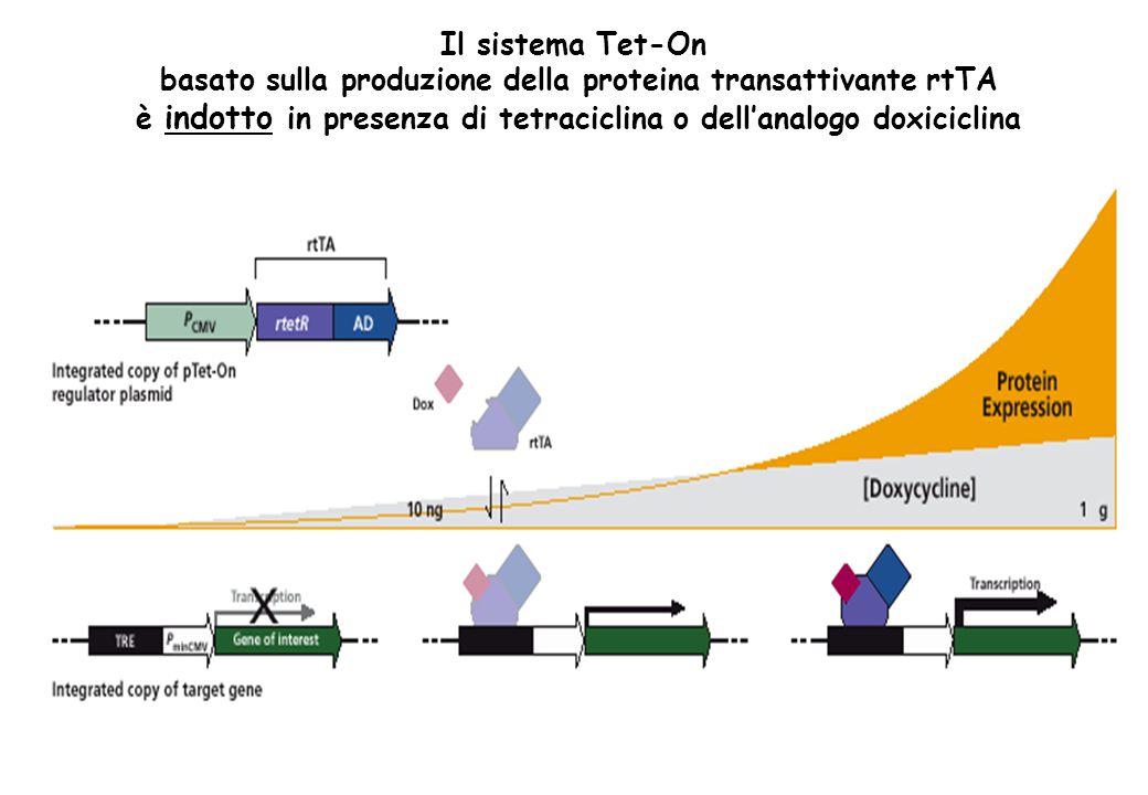 basato sulla produzione della proteina transattivante rtTA