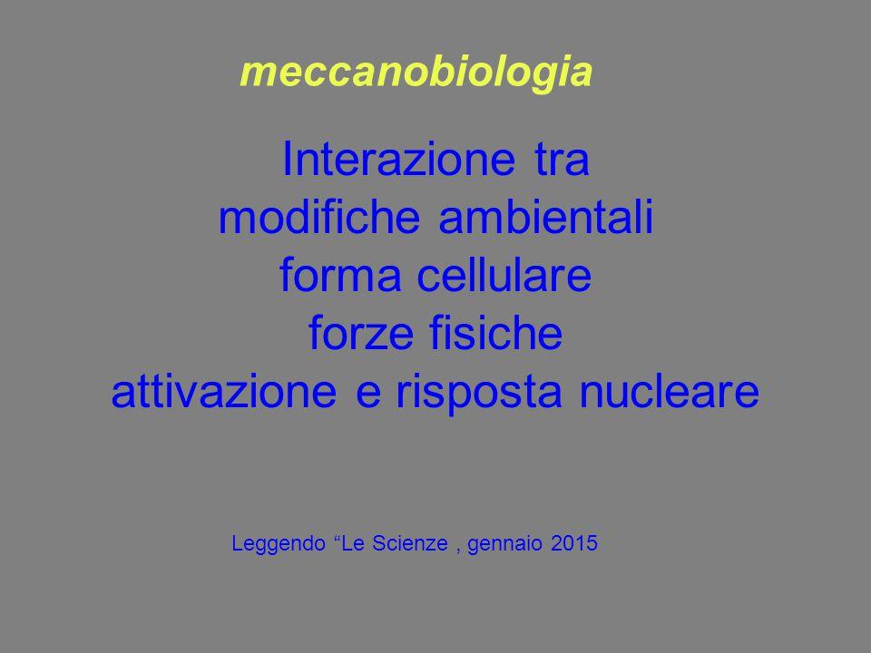 meccanobiologia Interazione tra modifiche ambientali forma cellulare forze fisiche attivazione e risposta nucleare.