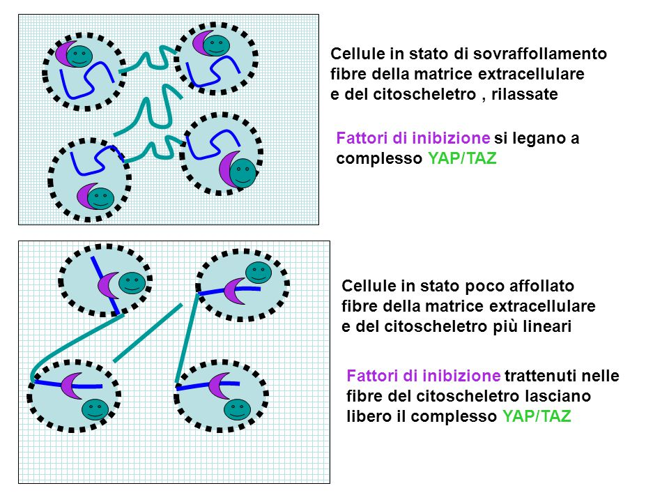 Cellule in stato di sovraffollamento fibre della matrice extracellulare e del citoscheletro , rilassate