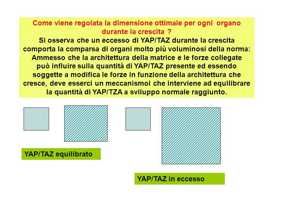 Come viene regolata la dimensione ottimale per ogni organo durante la crescita Si osserva che un eccesso di YAP/TAZ durante la crescita comporta la comparsa di organi molto più voluminosi della norma: Ammesso che la architettura della matrice e le forze collegate può influire sulla quantità di YAP/TAZ presente ed essendo soggette a modifica le forze in funzione della architettura che cresce, deve esserci un meccanismoi che interviene ad equilibrare la quantità di YAP/TZA a sviluppo normale raggiunto.