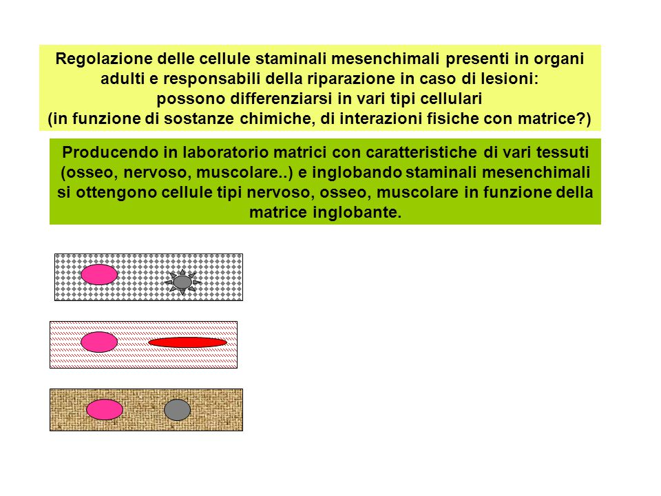 Regolazione delle cellule staminali mesenchimali presenti in organi adulti e responsabili della riparazione in caso di lesioni: possono differenziarsi in vari tipi cellulari (in funzione di sostanze chimiche, di interazioni fisiche con matrice )