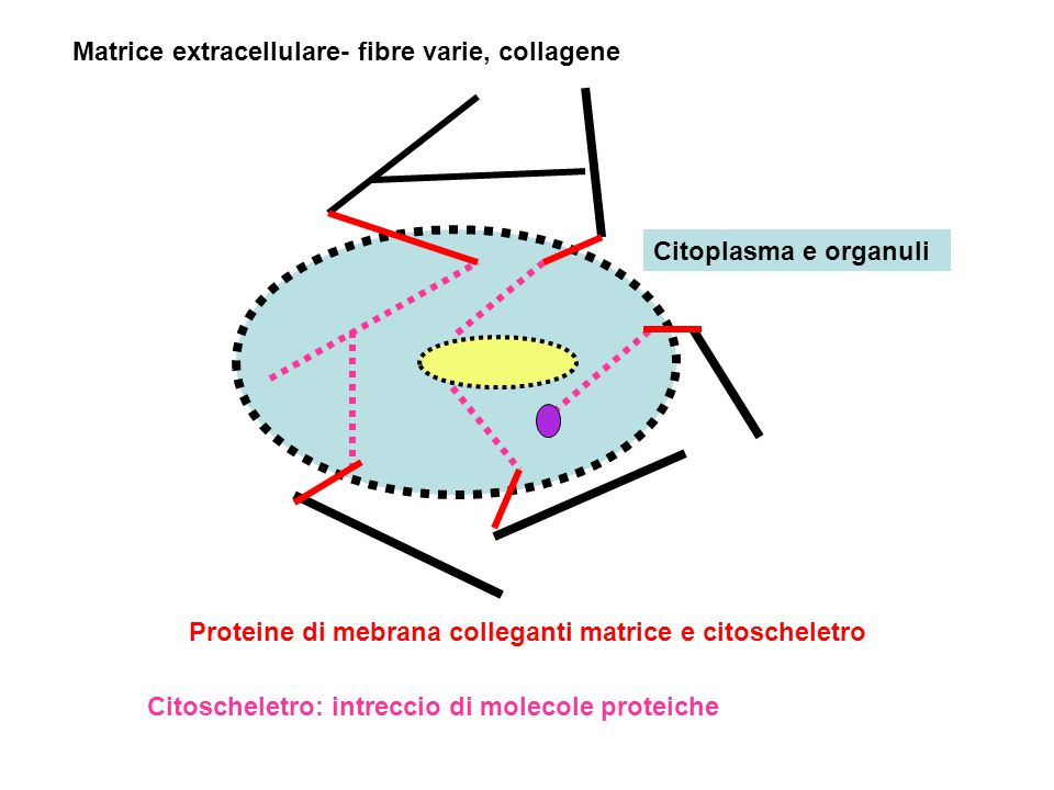 Matrice extracellulare- fibre varie, collagene