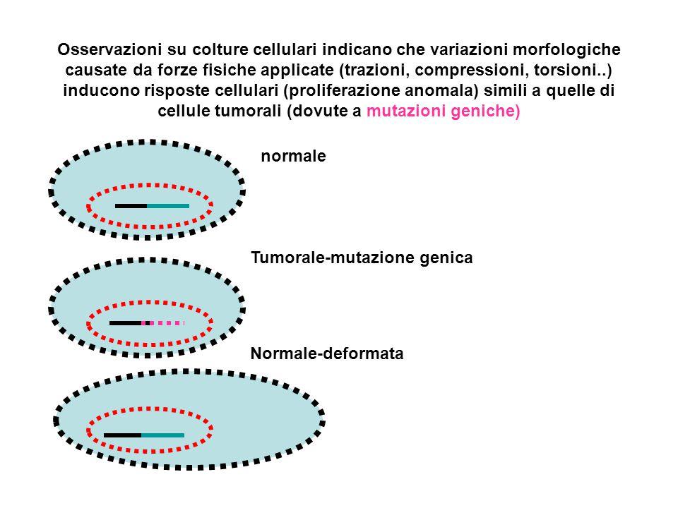Osservazioni su colture cellulari indicano che variazioni morfologiche causate da forze fisiche applicate (trazioni, compressioni, torsioni..) inducono risposte cellulari (proliferazione anomala) simili a quelle di cellule tumorali (dovute a mutazioni geniche)