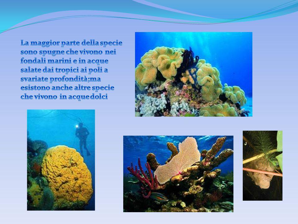 La maggior parte della specie sono spugne che vivono nei fondali marini e in acque salate dai tropici ai poli a svariate profondità;ma esistono anche altre specie che vivono in acque dolci
