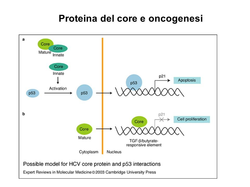 Proteina del core e oncogenesi