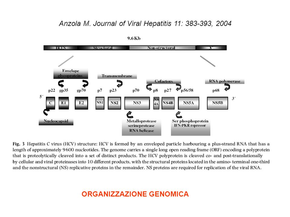Anzola M. Journal of Viral Hepatitis 11: 383-393, 2004
