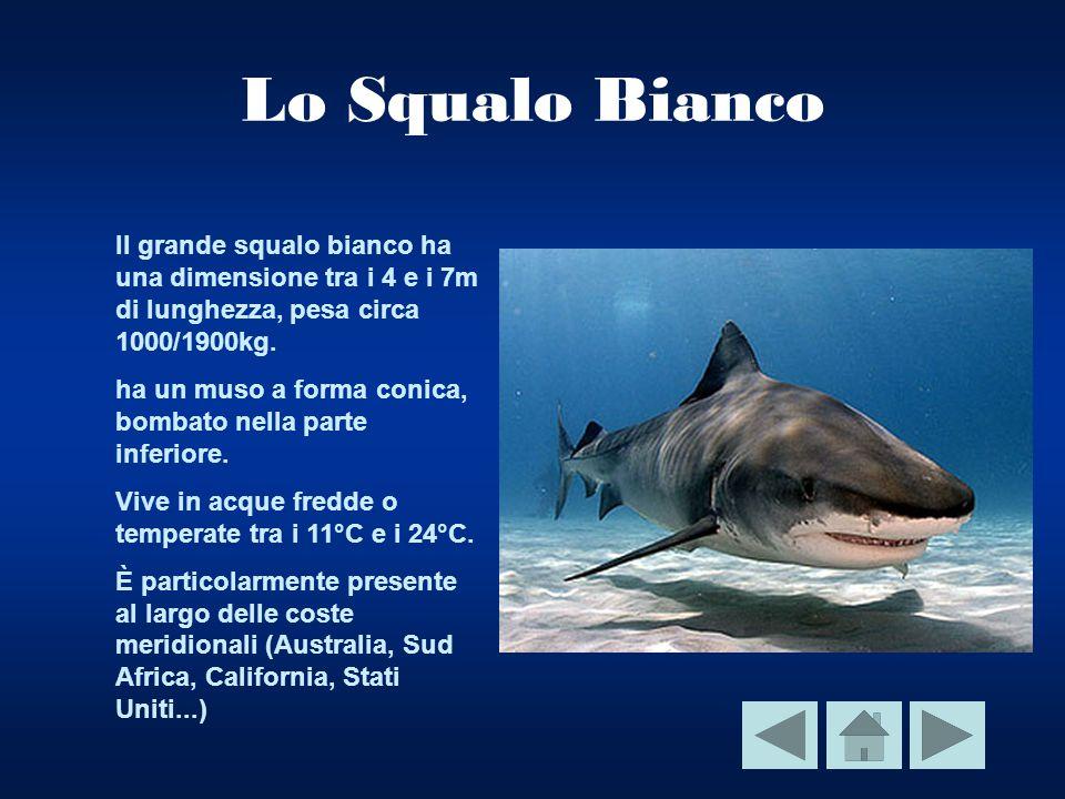Lo Squalo Bianco Il grande squalo bianco ha una dimensione tra i 4 e i 7m di lunghezza, pesa circa 1000/1900kg.