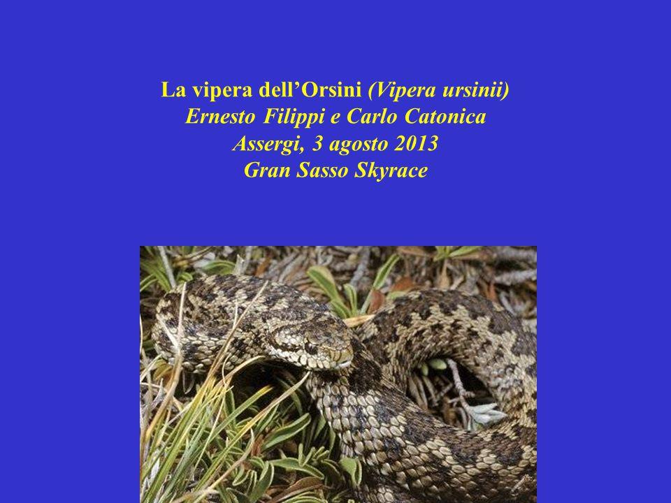 La vipera dell'Orsini (Vipera ursinii) Ernesto Filippi e Carlo Catonica Assergi, 3 agosto 2013 Gran Sasso Skyrace