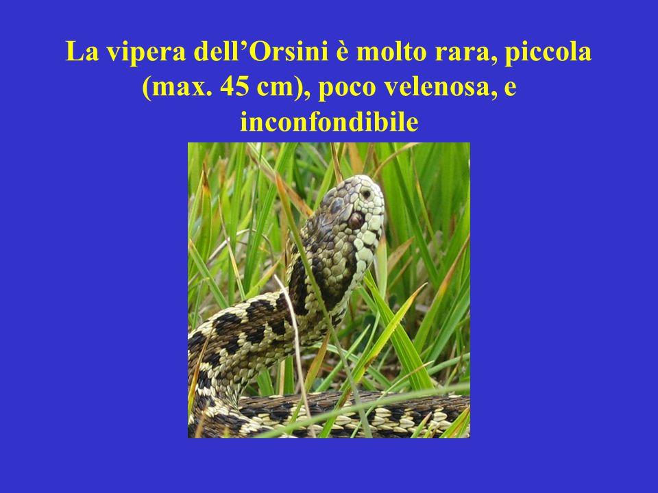 La vipera dell'Orsini è molto rara, piccola (max