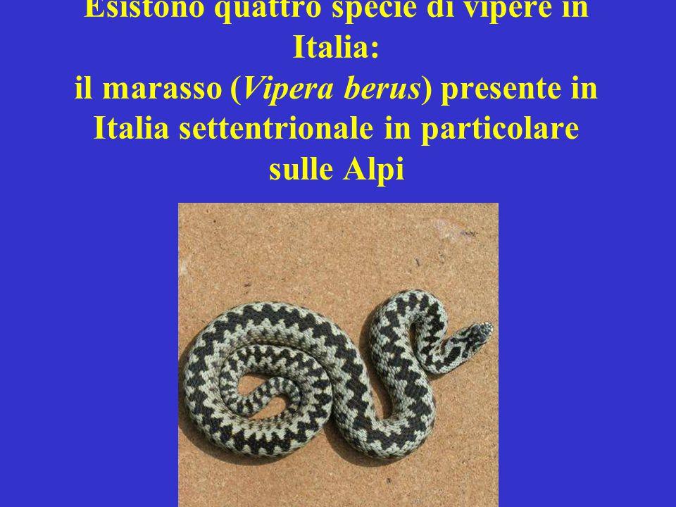 Esistono quattro specie di vipere in Italia: il marasso (Vipera berus) presente in Italia settentrionale in particolare sulle Alpi
