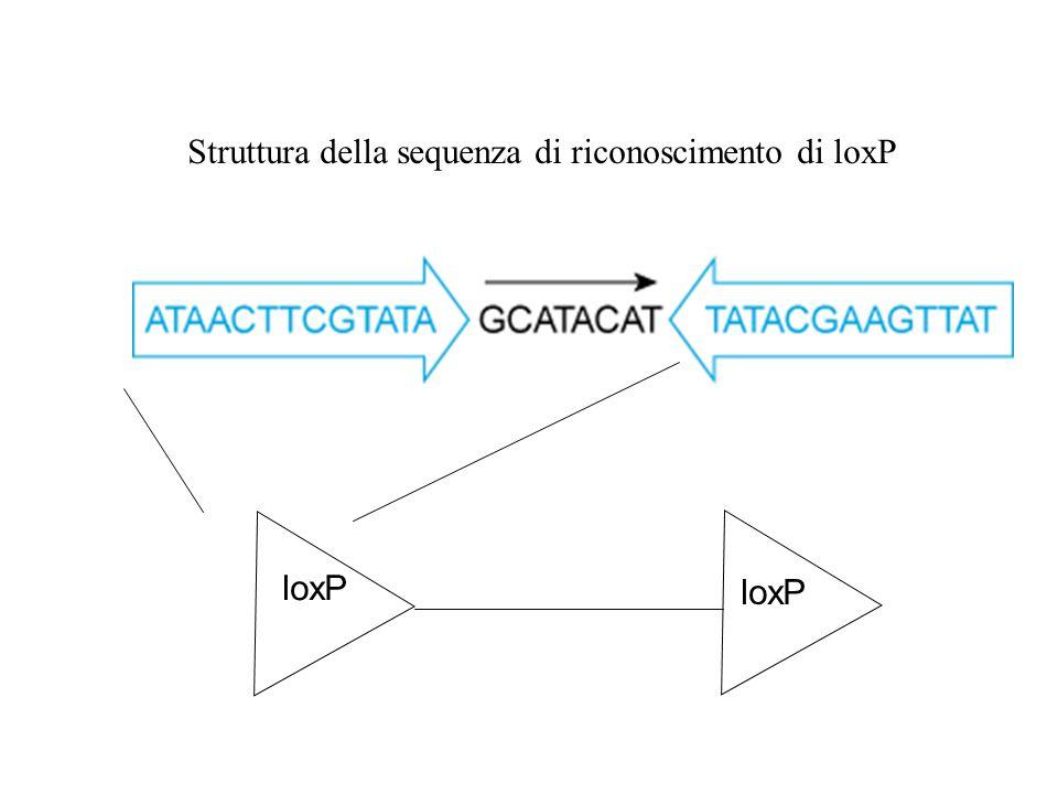 Struttura della sequenza di riconoscimento di loxP
