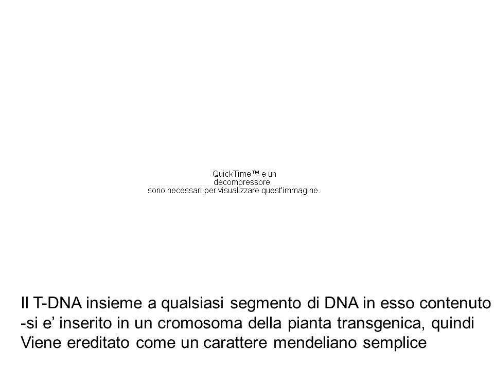 Il T-DNA insieme a qualsiasi segmento di DNA in esso contenuto