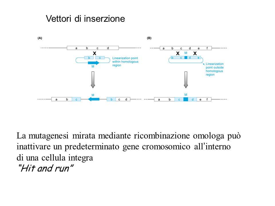 La mutagenesi mirata mediante ricombinazione omologa può
