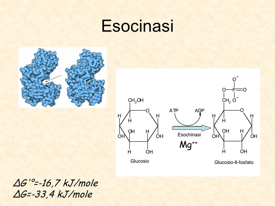 Esocinasi Mg++ ΔG °=-16,7 kJ/mole ΔG=-33,4 kJ/mole