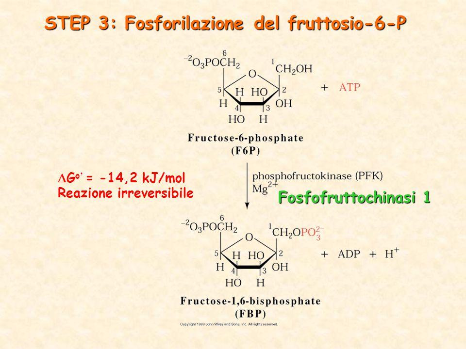 STEP 3: Fosforilazione del fruttosio-6-P