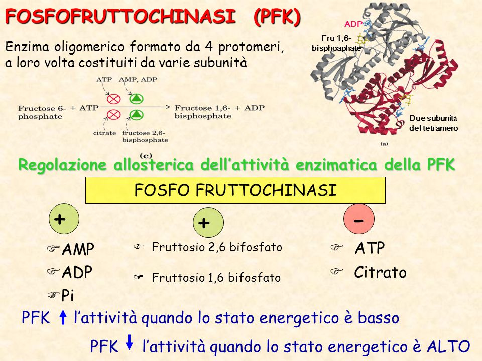 - + + FOSFOFRUTTOCHINASI (PFK)