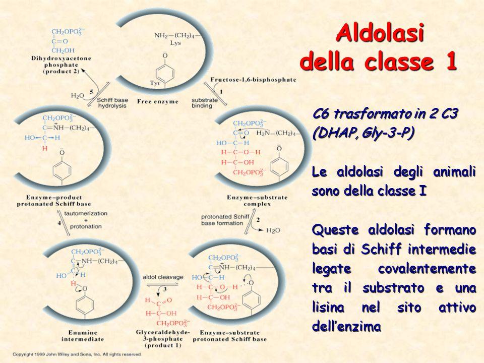 Aldolasi della classe 1 C6 trasformato in 2 C3 (DHAP, Gly-3-P)