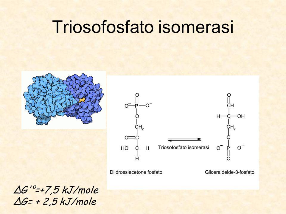 Triosofosfato isomerasi