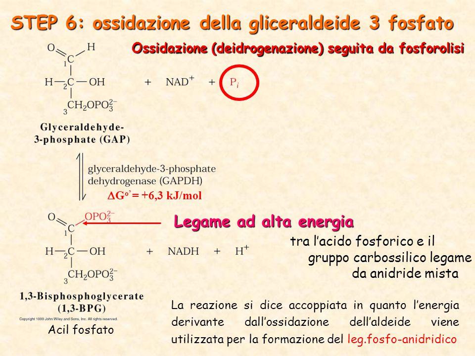 Ossidazione (deidrogenazione) seguita da fosforolisi