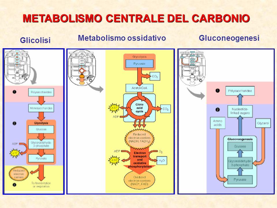 METABOLISMO CENTRALE DEL CARBONIO