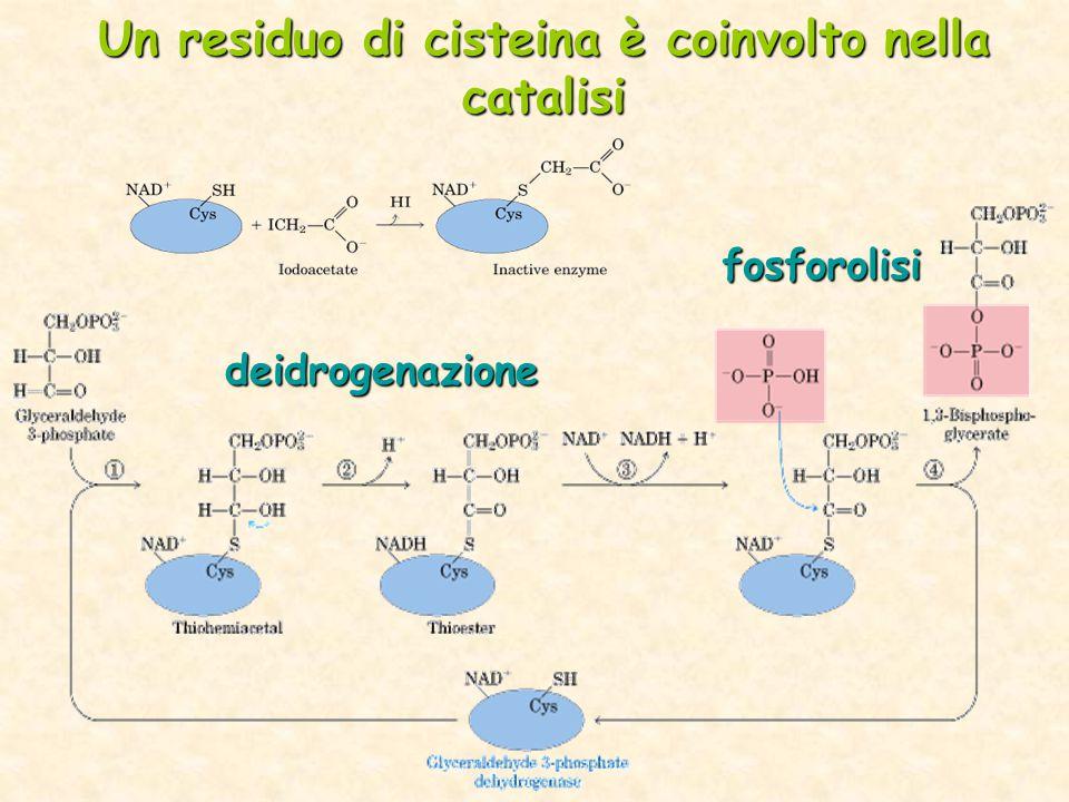 Un residuo di cisteina è coinvolto nella catalisi