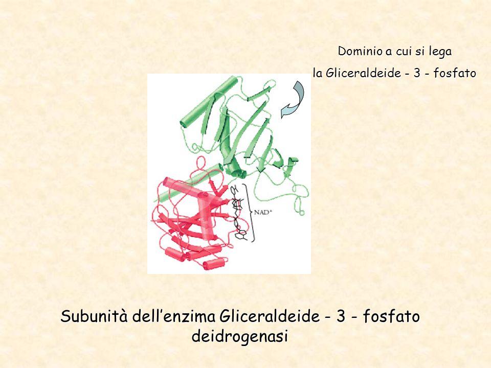 Subunità dell'enzima Gliceraldeide - 3 - fosfato deidrogenasi