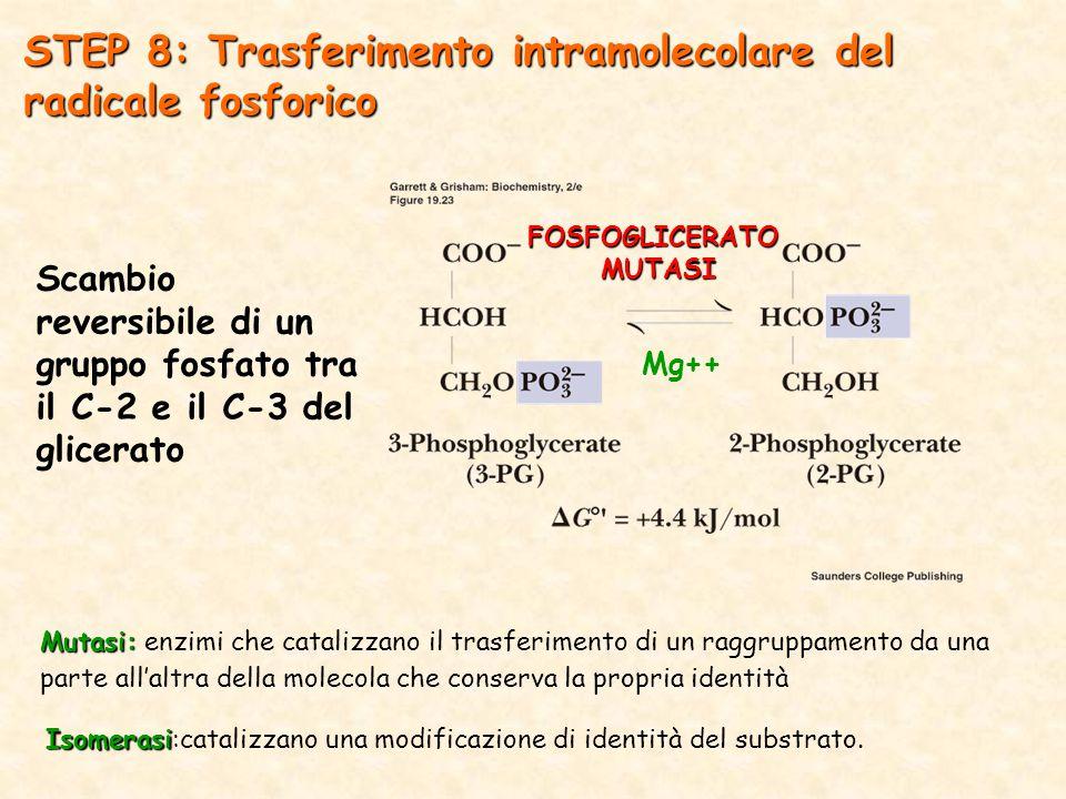 STEP 8: Trasferimento intramolecolare del radicale fosforico