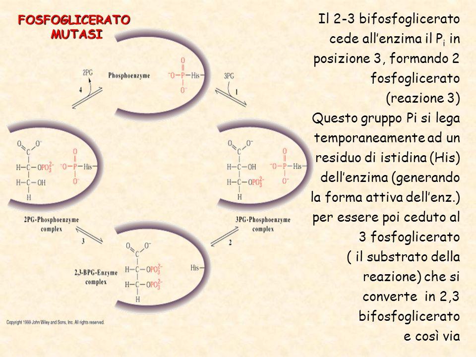 Il 2-3 bifosfoglicerato cede all'enzima il Pi in posizione 3, formando 2 fosfoglicerato