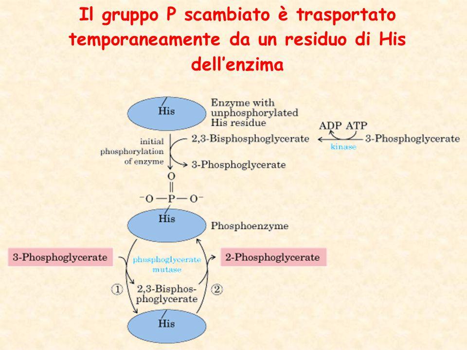 Il gruppo P scambiato è trasportato temporaneamente da un residuo di His dell'enzima