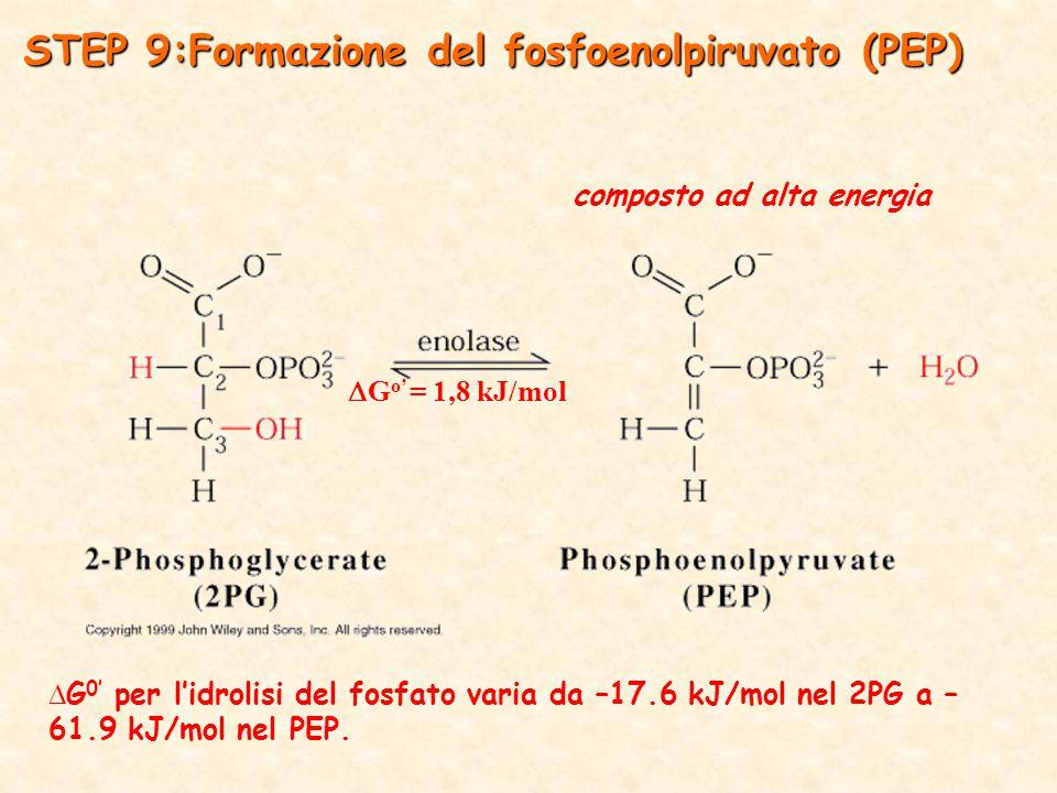 STEP 9:Formazione del fosfoenolpiruvato (PEP)