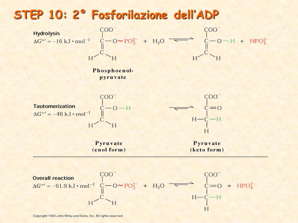 STEP 10: 2° Fosforilazione dell'ADP