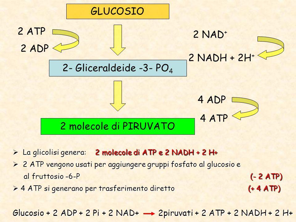 GLUCOSIO 2 ATP 2 NAD+ 2 ADP 2 NADH + 2H+ 2- Gliceraldeide -3- PO4