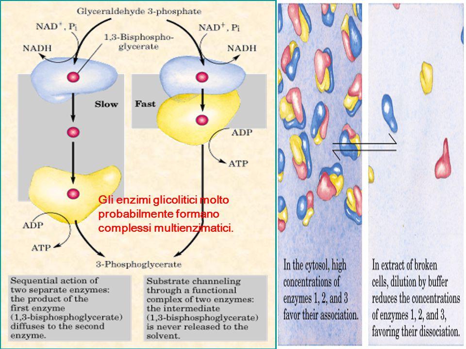 Gli enzimi glicolitici molto