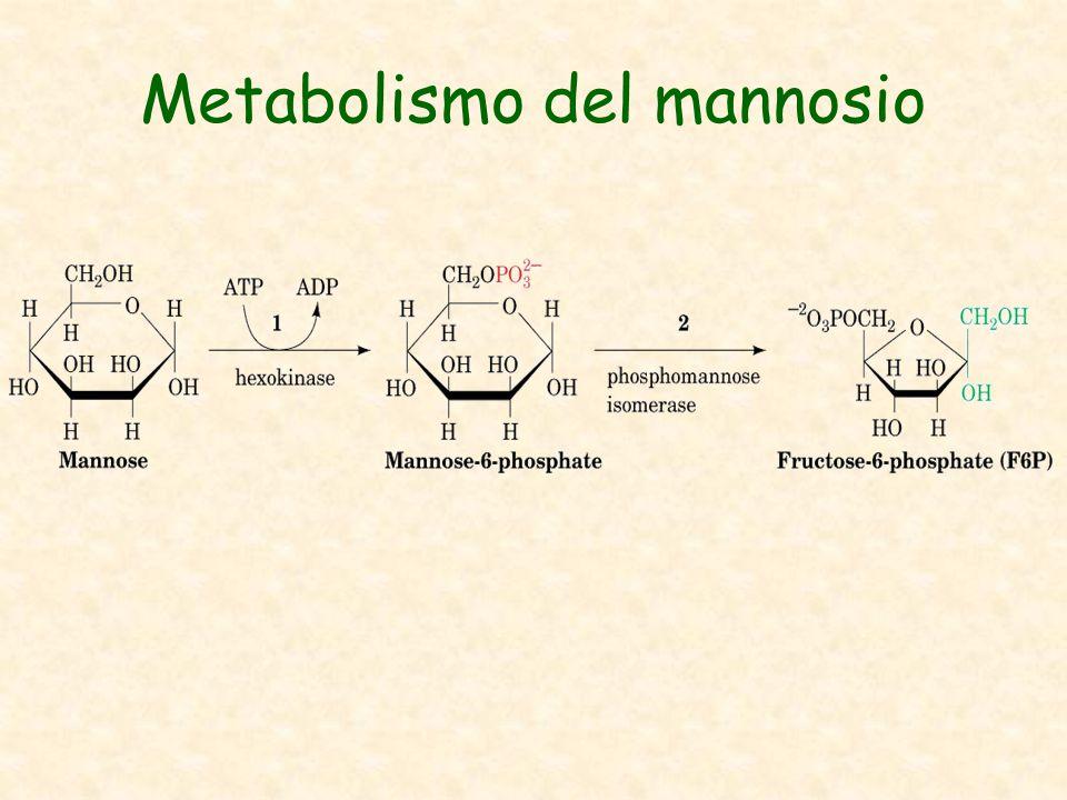 Metabolismo del mannosio