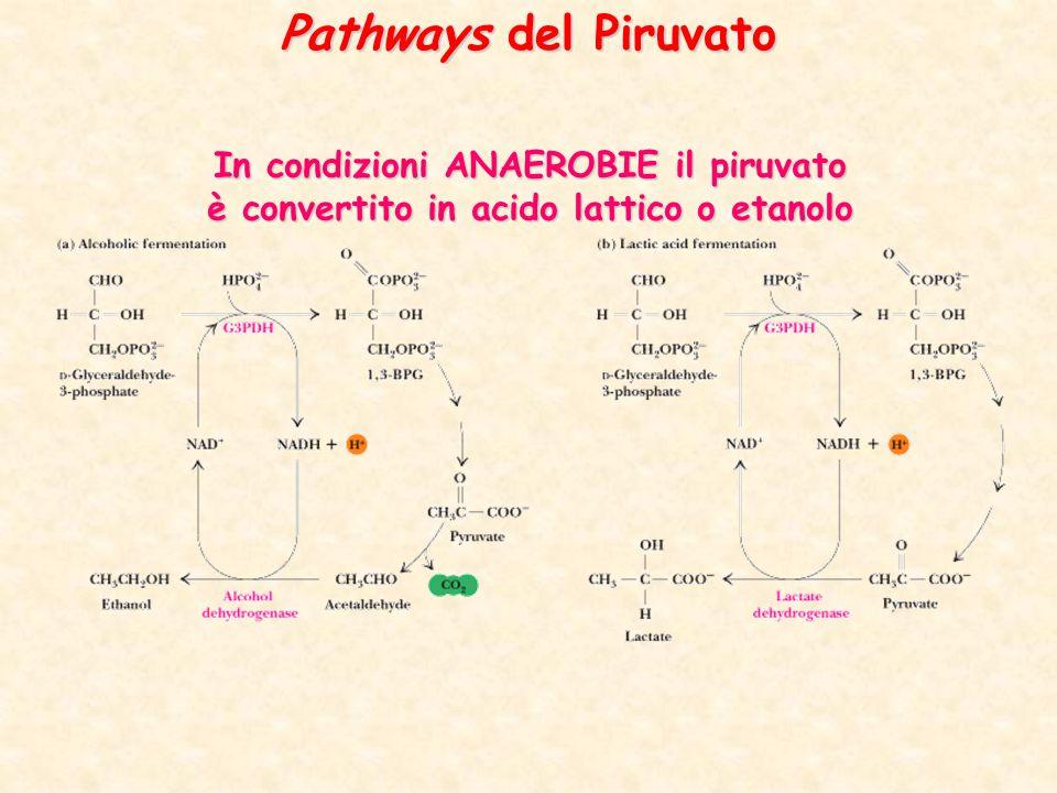 Pathways del Piruvato In condizioni ANAEROBIE il piruvato