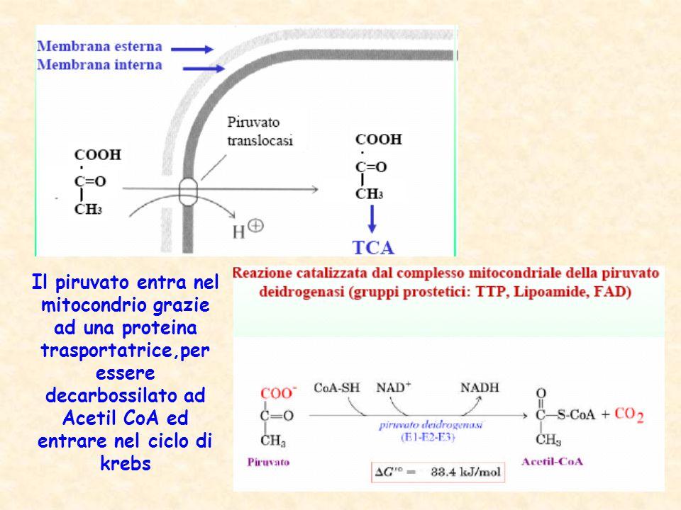 Il piruvato entra nel mitocondrio grazie ad una proteina trasportatrice,per essere decarbossilato ad Acetil CoA ed entrare nel ciclo di krebs