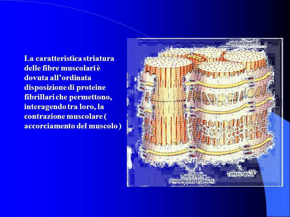 La caratteristica striatura delle fibre muscolari è dovuta all'ordinata disposizione di proteine fibrillari che permettono, interagendo tra loro, la contrazione muscolare ( accorciamento del muscolo )