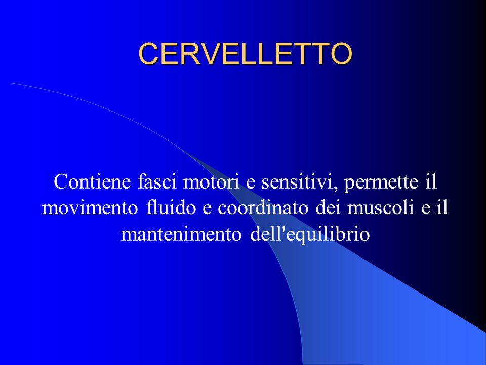 CERVELLETTO Contiene fasci motori e sensitivi, permette il movimento fluido e coordinato dei muscoli e il mantenimento dell equilibrio.