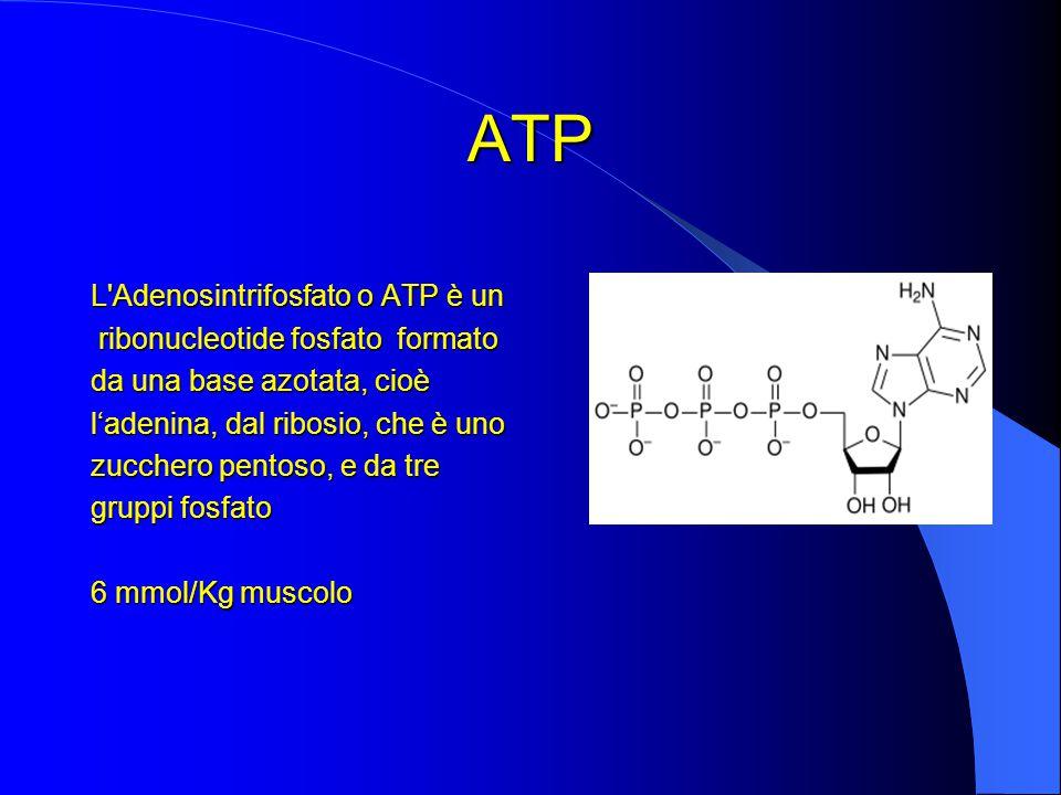 ATP L Adenosintrifosfato o ATP è un ribonucleotide fosfato formato