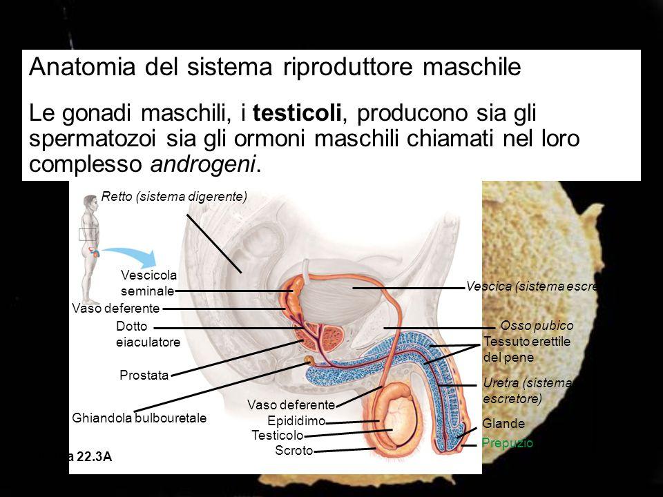 Anatomia del sistema riproduttore maschile