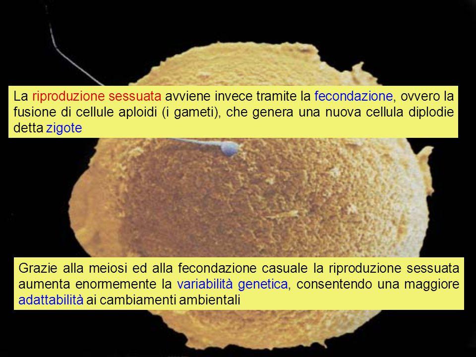 La riproduzione sessuata avviene invece tramite la fecondazione, ovvero la fusione di cellule aploidi (i gameti), che genera una nuova cellula diplodie detta zigote