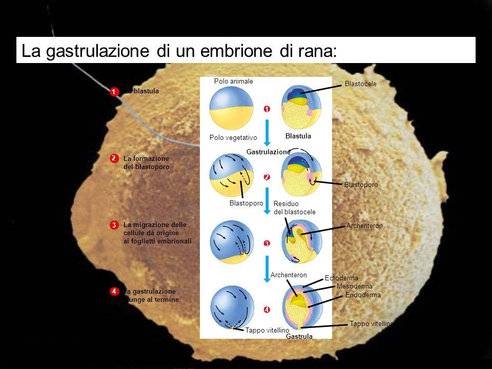La gastrulazione di un embrione di rana: