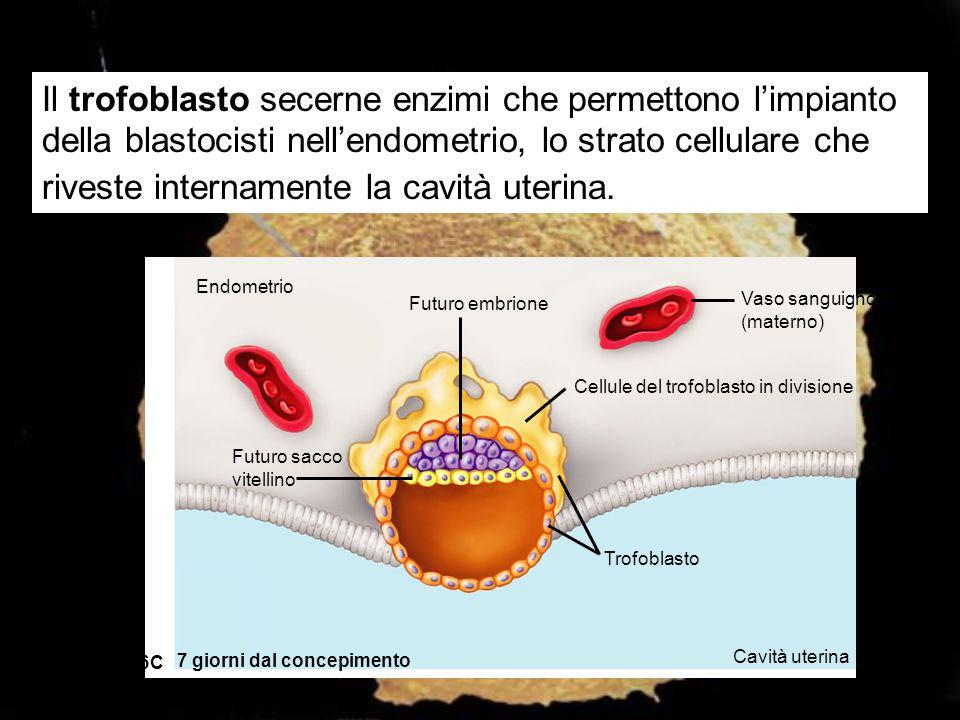 Il trofoblasto secerne enzimi che permettono l'impianto della blastocisti nell'endometrio, lo strato cellulare che riveste internamente la cavità uterina.