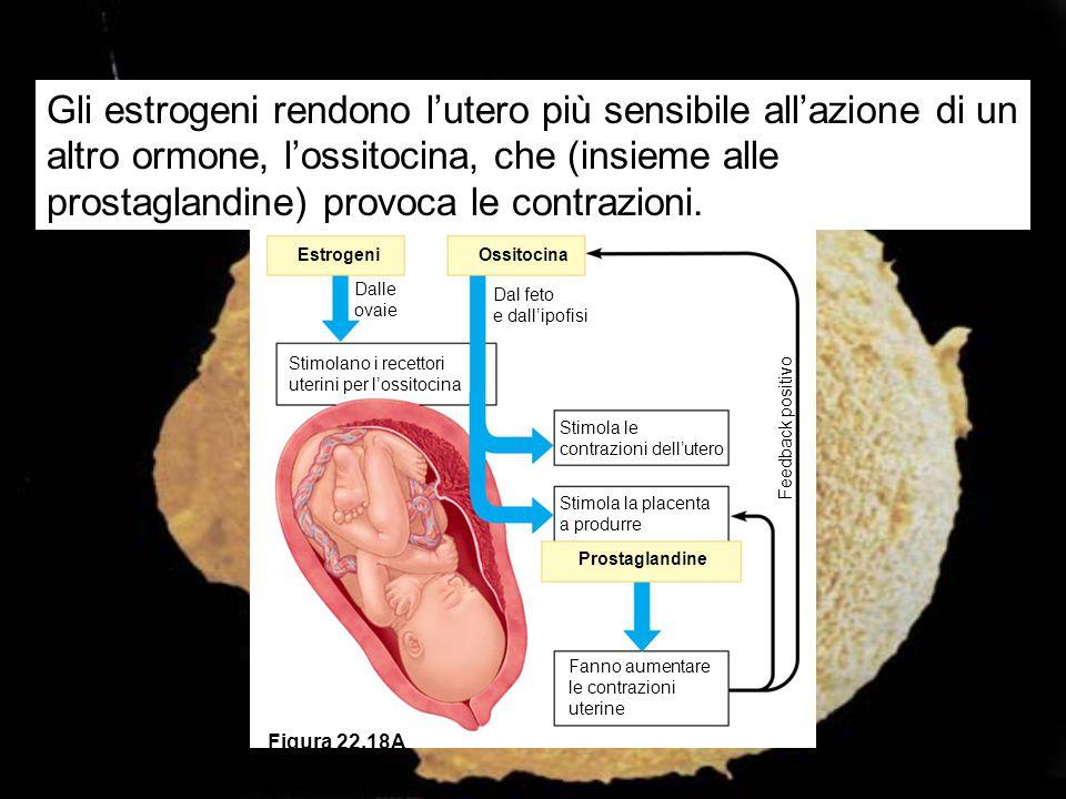 Gli estrogeni rendono l'utero più sensibile all'azione di un altro ormone, l'ossitocina, che (insieme alle prostaglandine) provoca le contrazioni.