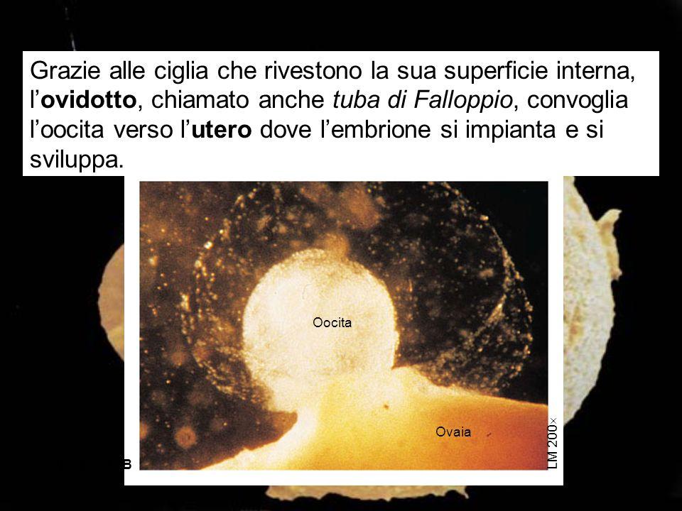 Grazie alle ciglia che rivestono la sua superficie interna, l'ovidotto, chiamato anche tuba di Falloppio, convoglia l'oocita verso l'utero dove l'embrione si impianta e si sviluppa.