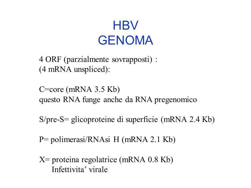 HBV GENOMA 4 ORF (parzialmente sovrapposti) : (4 mRNA unspliced):