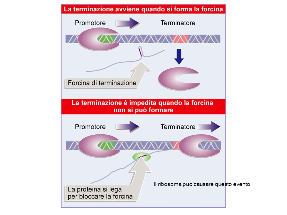 Il ribosoma puo'causare questo evento
