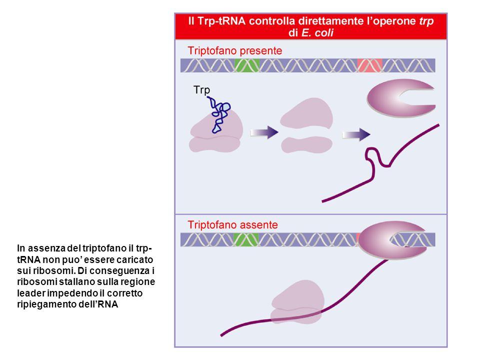 In assenza del triptofano il trp-tRNA non puo' essere caricato sui ribosomi.